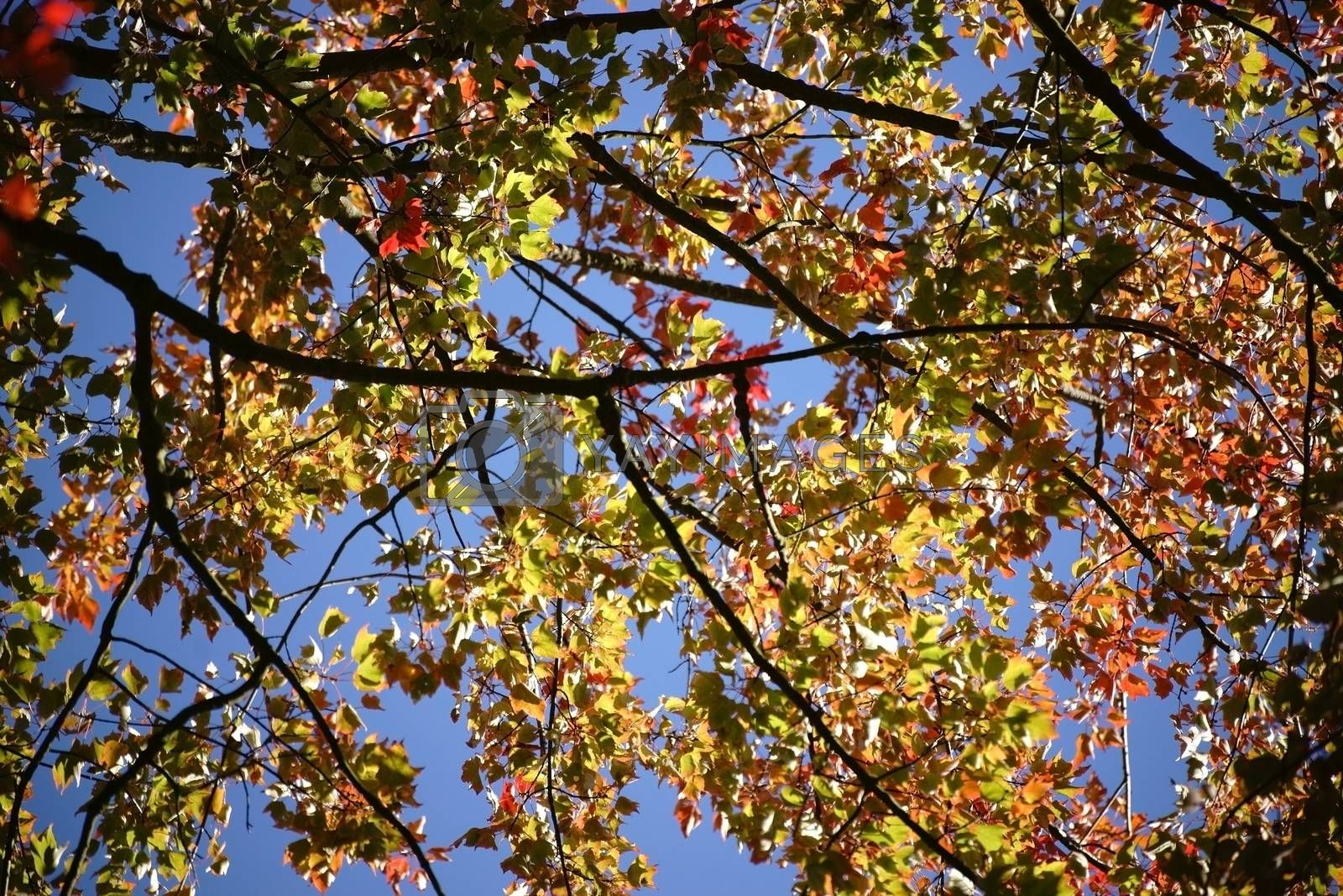 Green, orange and red leaves of the red maple tree at the beginning of autumn.