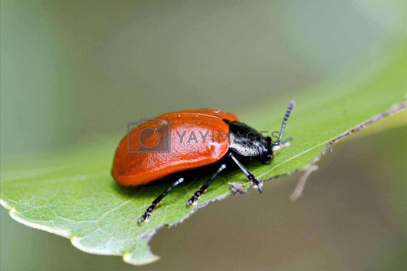 wild red cercopidae vulnerata coccinellidae anatis   by lkpro