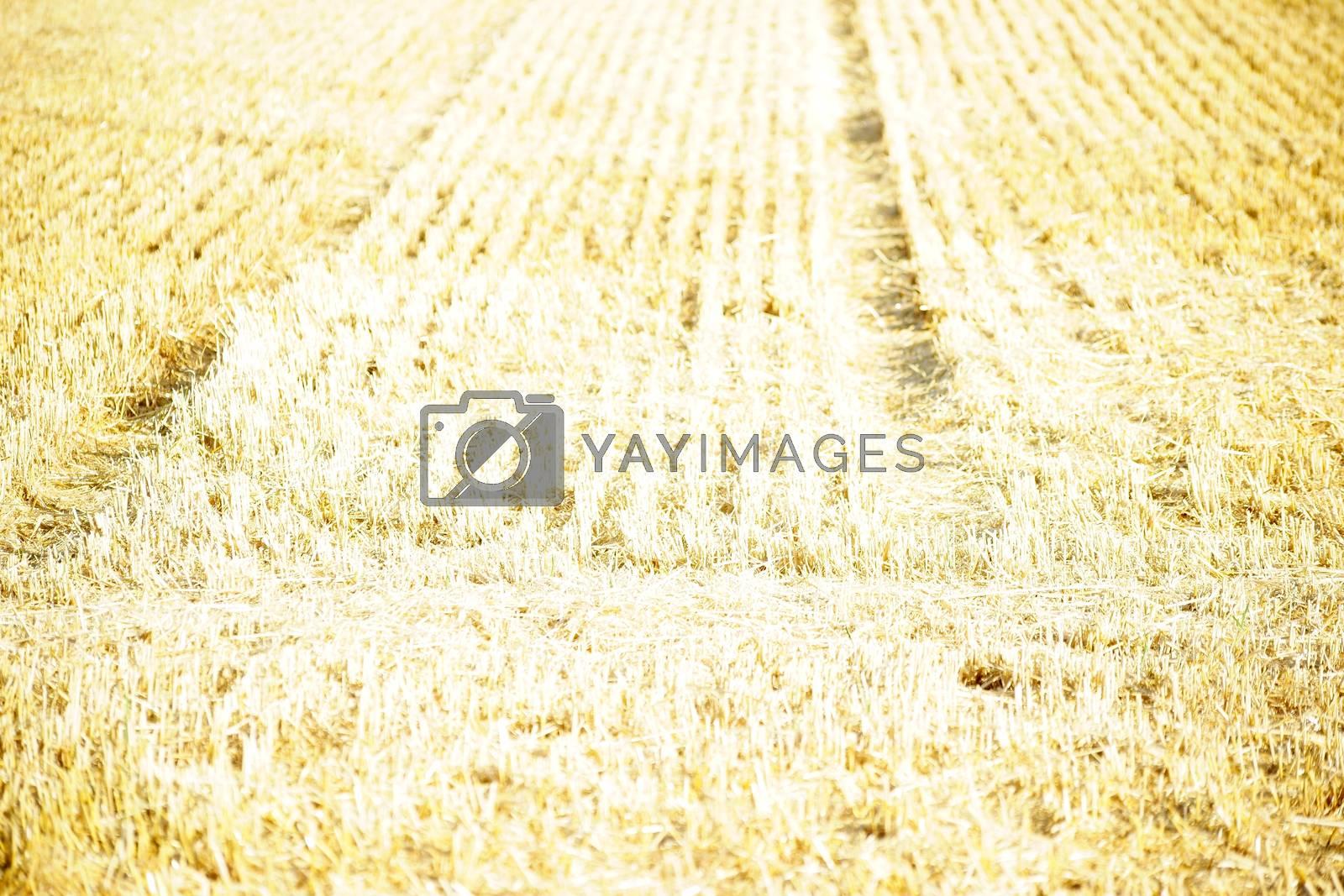 A strong through the sunlight shining mowed cornfield.