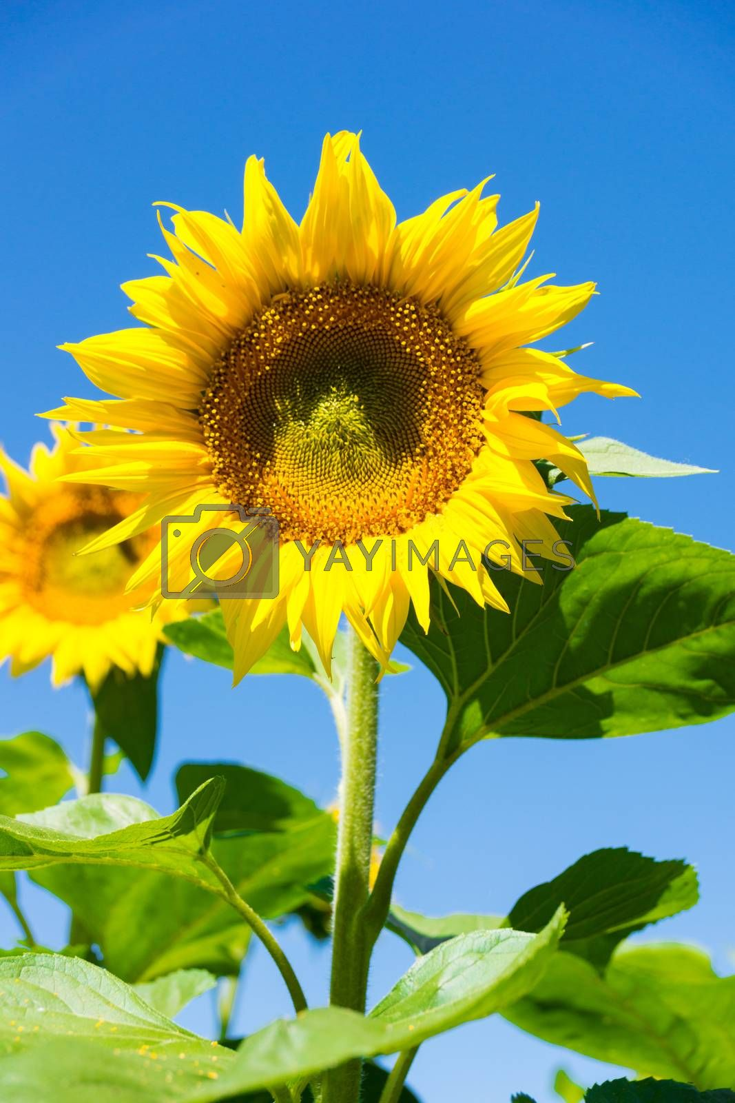 The photo depicts a sunflower against the blue sky.