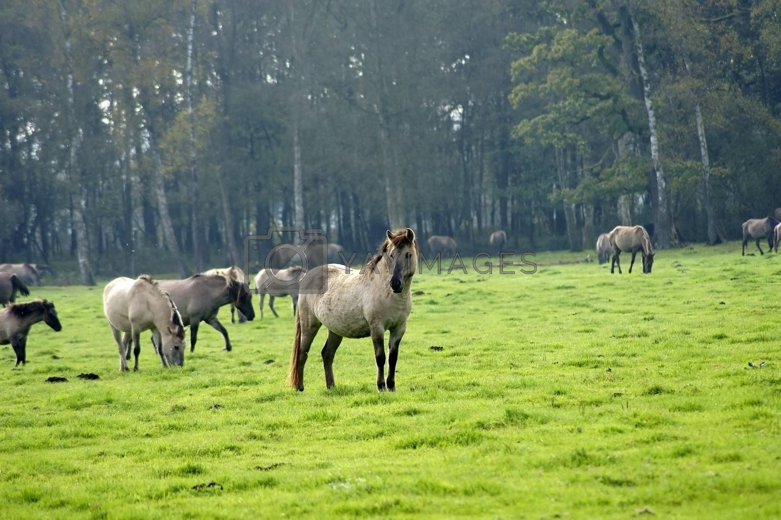 The portrait of a wild stallion in front of a herd of horses grazing.