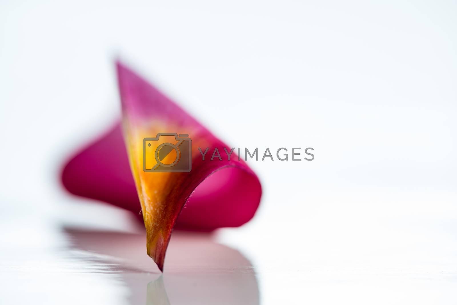 Pink frangipani flower petal isolated on white background