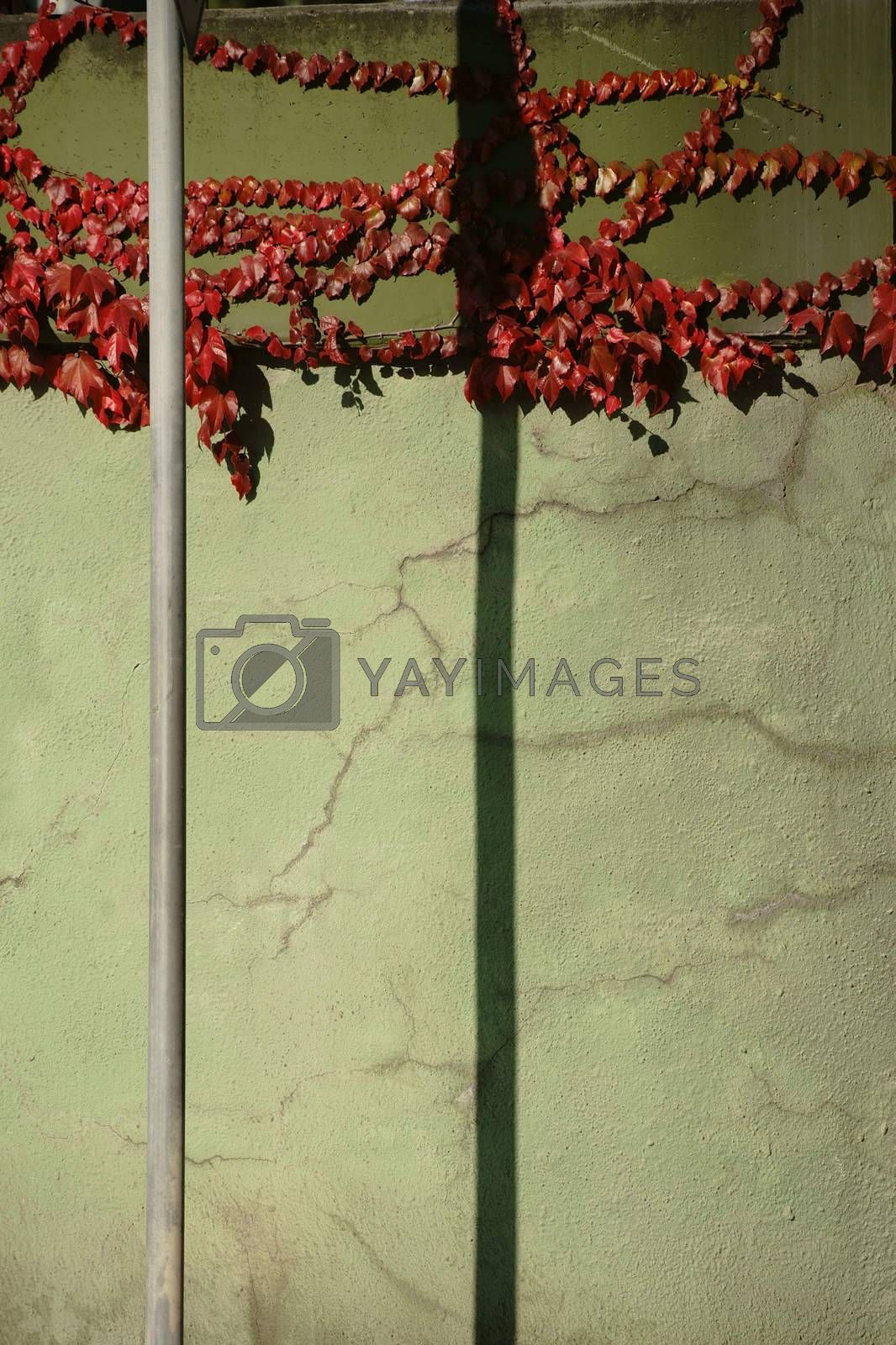 The tendrils and branches of a vine plant on a cracked wall with red and green leaves in the fall and a traffic sign and its abstract shadow.