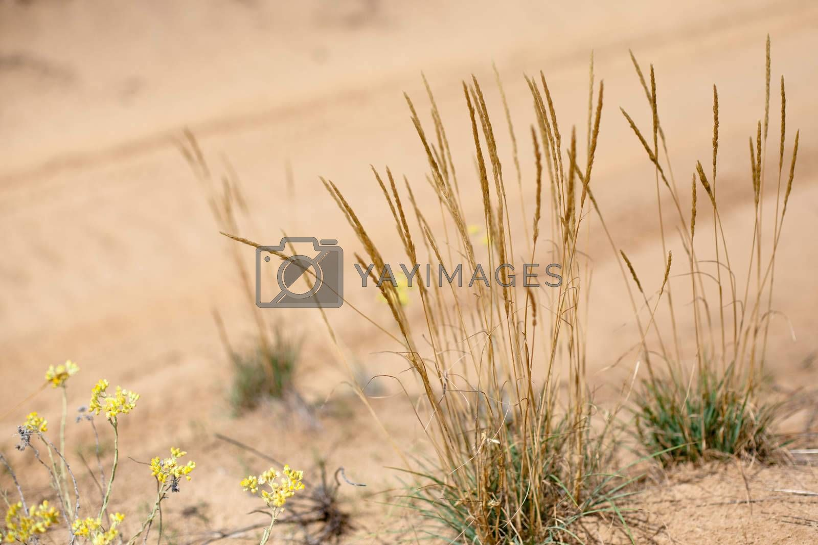 Yellow flowers and spicas on sand background