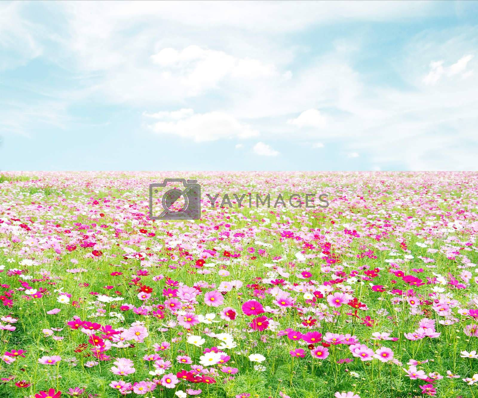 Royalty free image of cosmos flowers fields with sky by studio2013