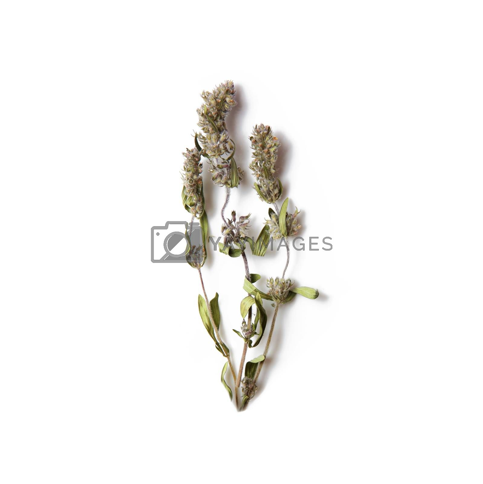 Mint flowers close-up isolated on white background
