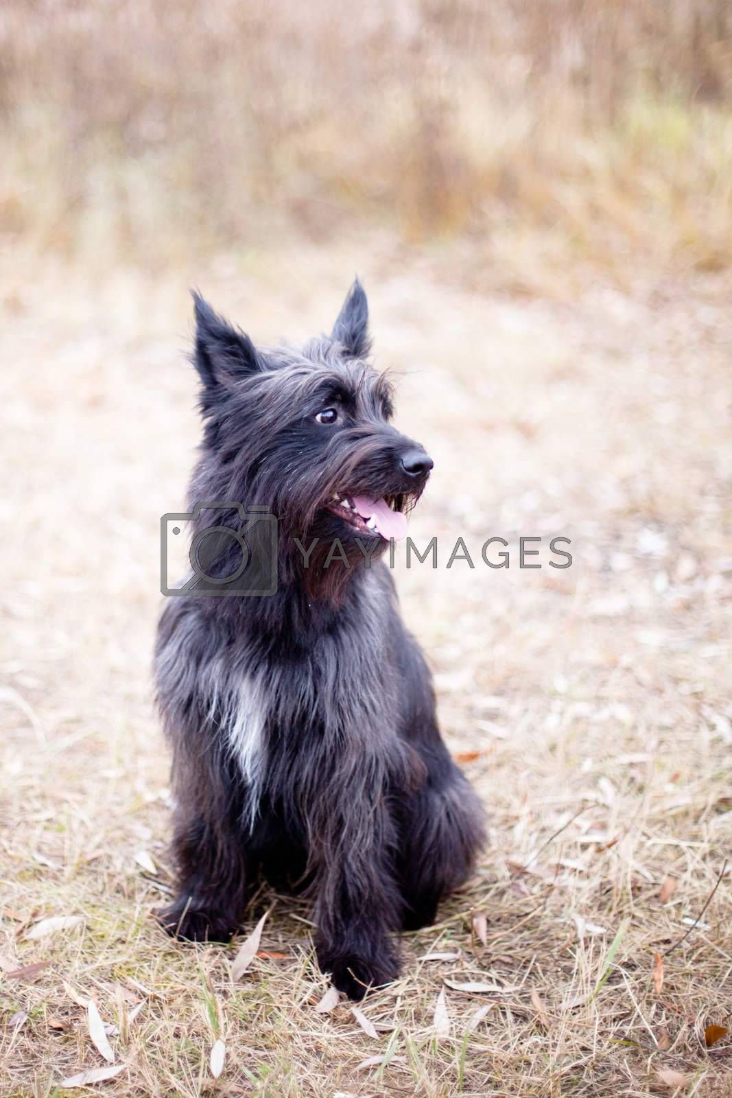 A sitting black terrier on autumn background