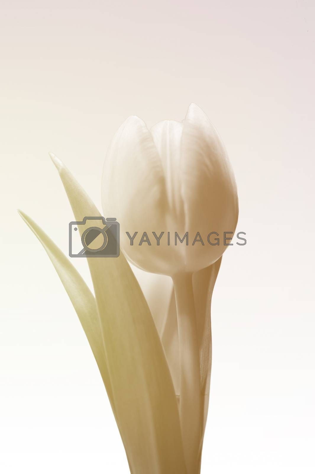The Closeup and the profile of a tulip in soft beige and bright colors.