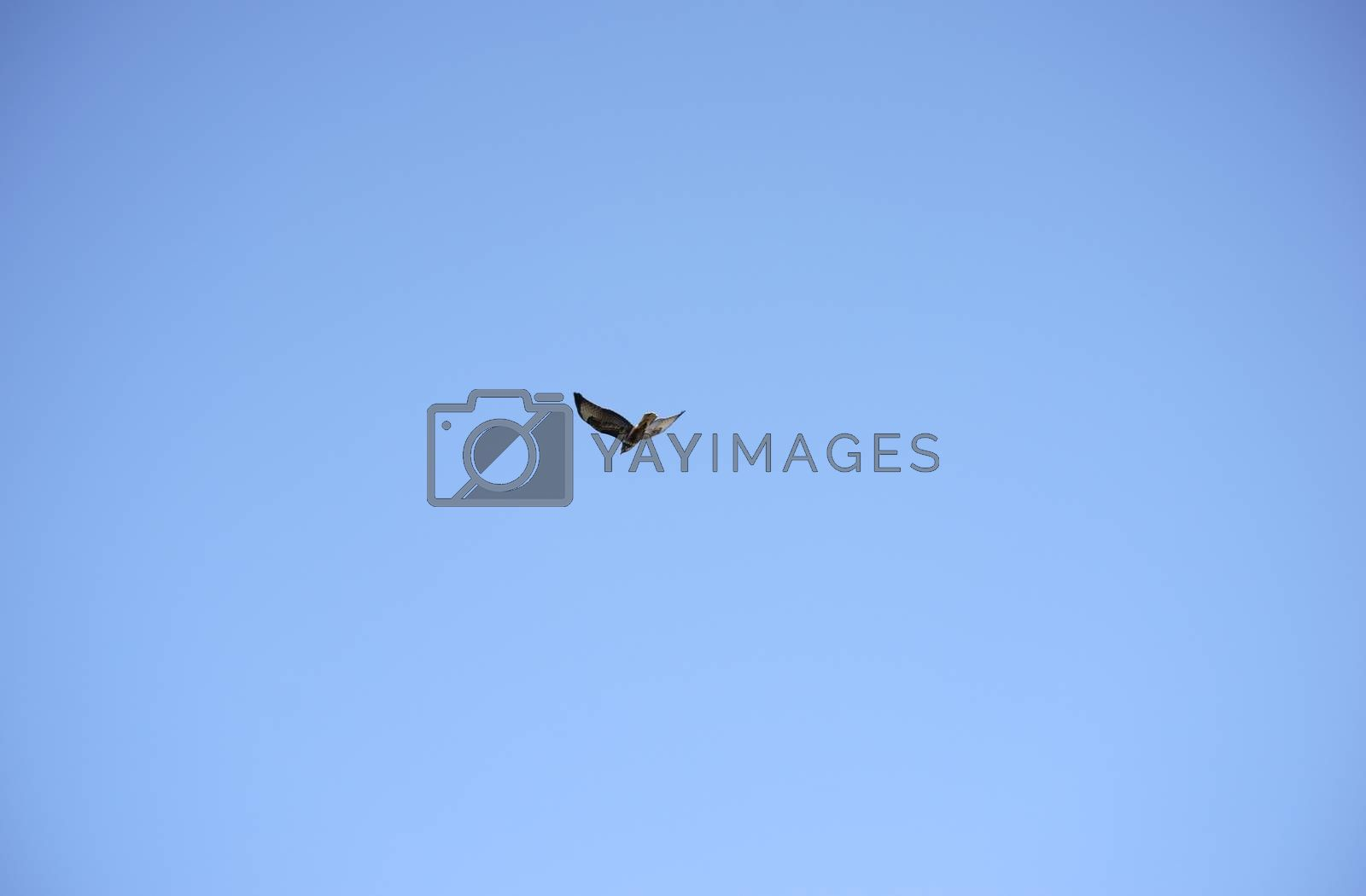 The bottom view of a harrier, a bird of prey during gliding.