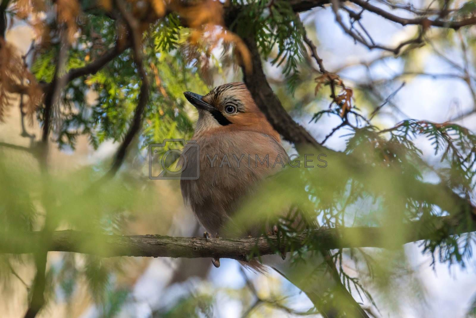 The photo shows the jay on the branches