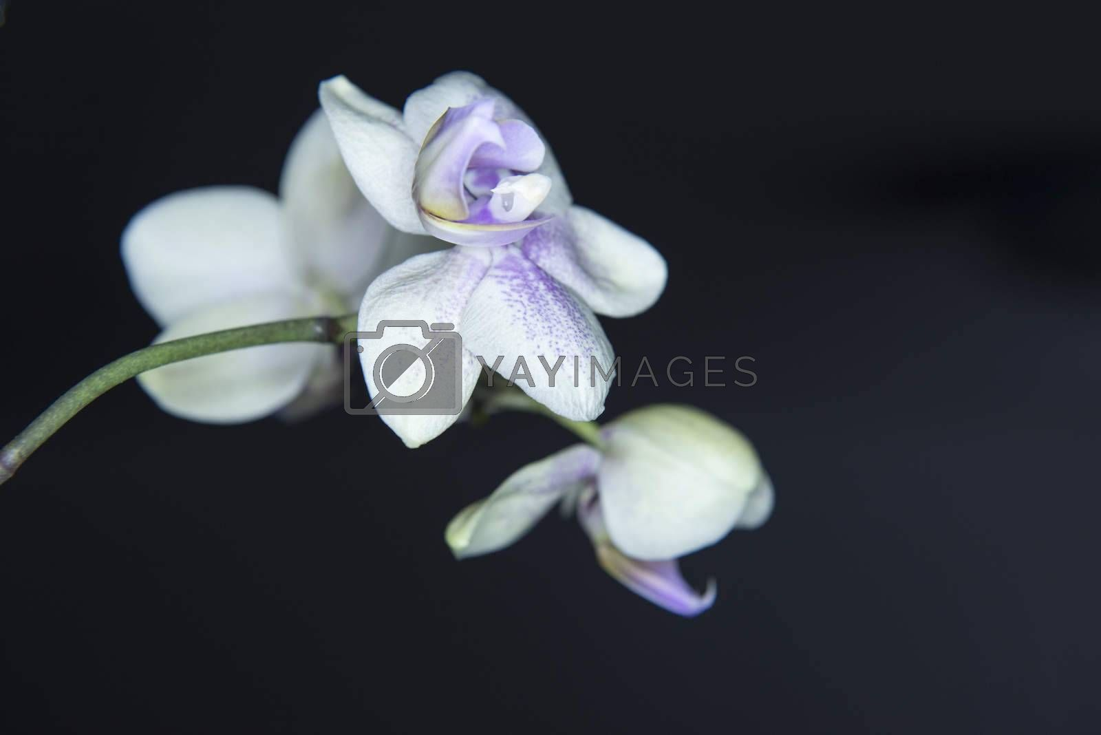 Orchis, Orchidea Phalaenopsis on black background.