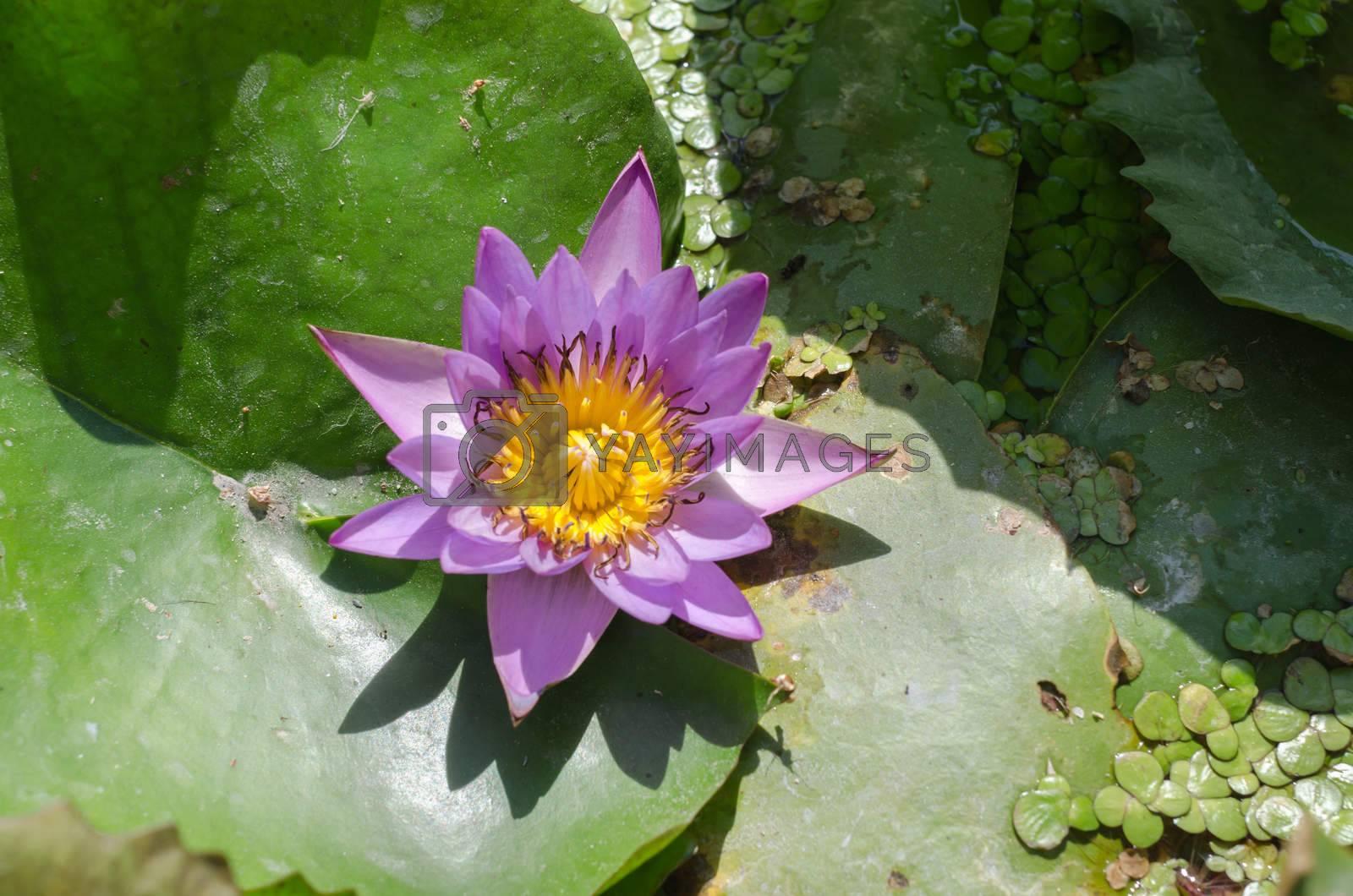 soft purple lotus flower floats in autumn pond.