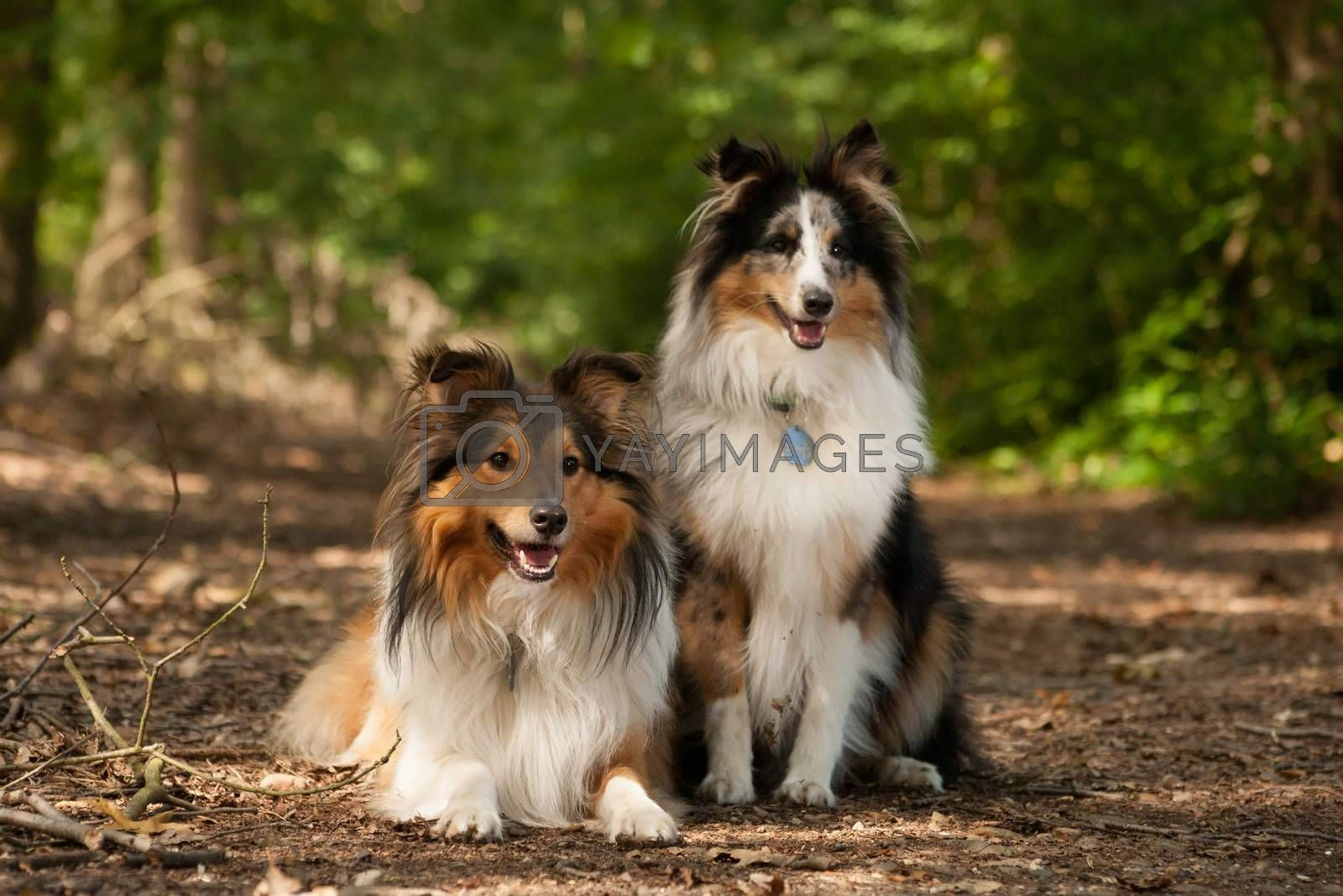 2  border collie dogs in the forest by DNFStyle