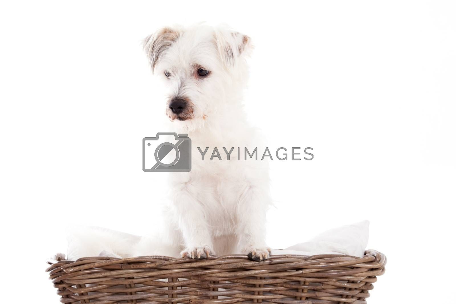 Dog in basket by DNFStyle