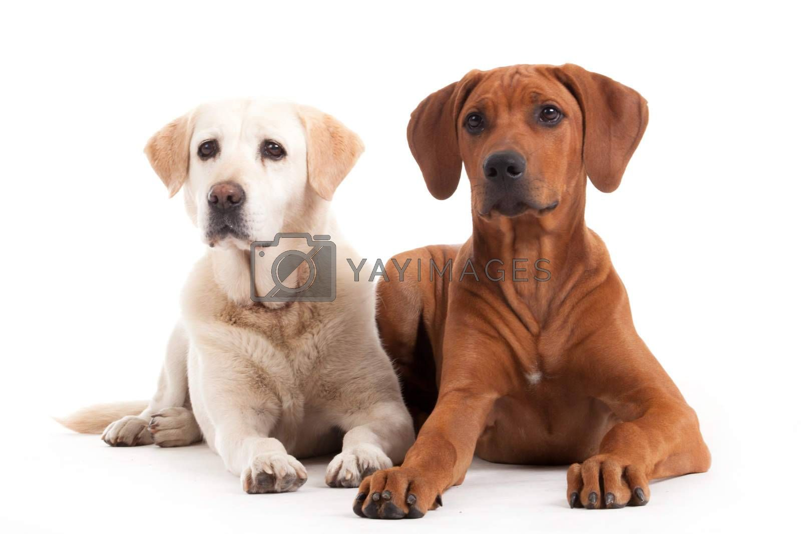 Rhodesian Ridgeback  and golden retriever on white by DNFStyle