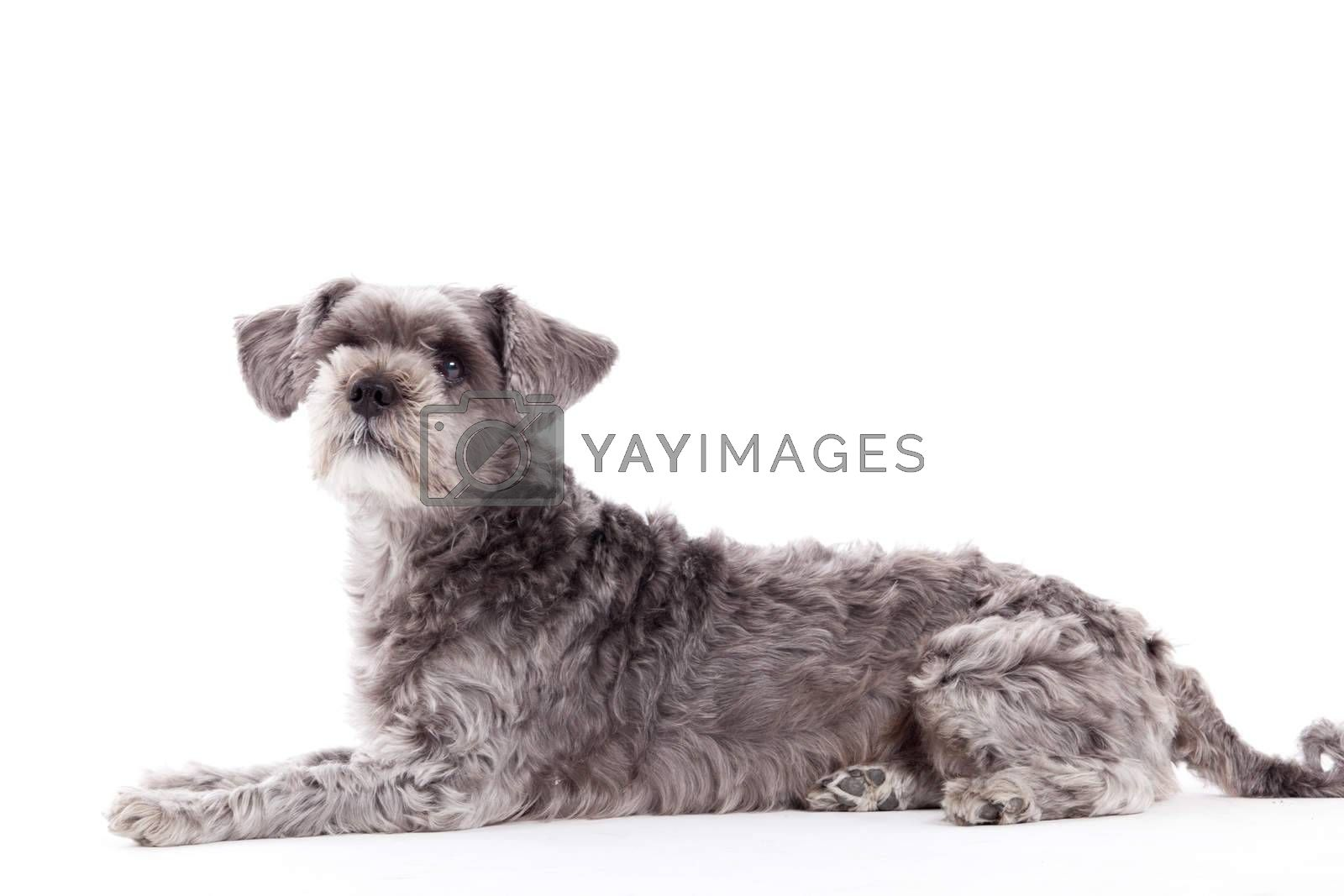Sweet grey dog on white by DNFStyle