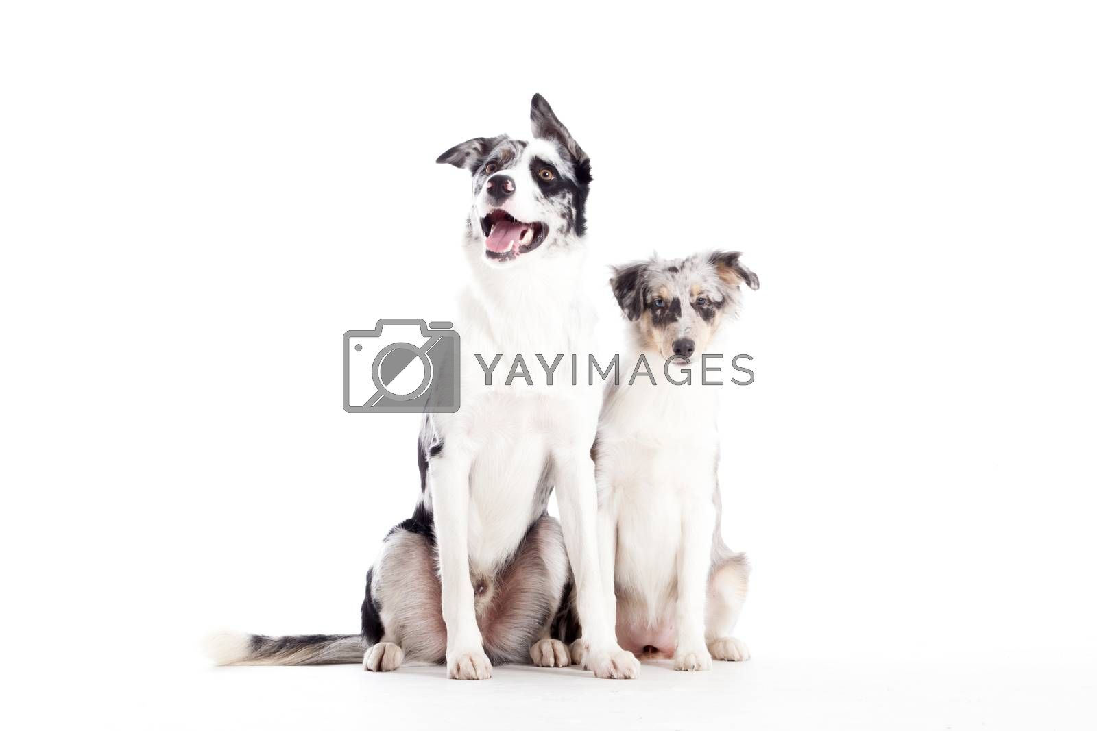 2  blue merle dogs isolated by DNFStyle