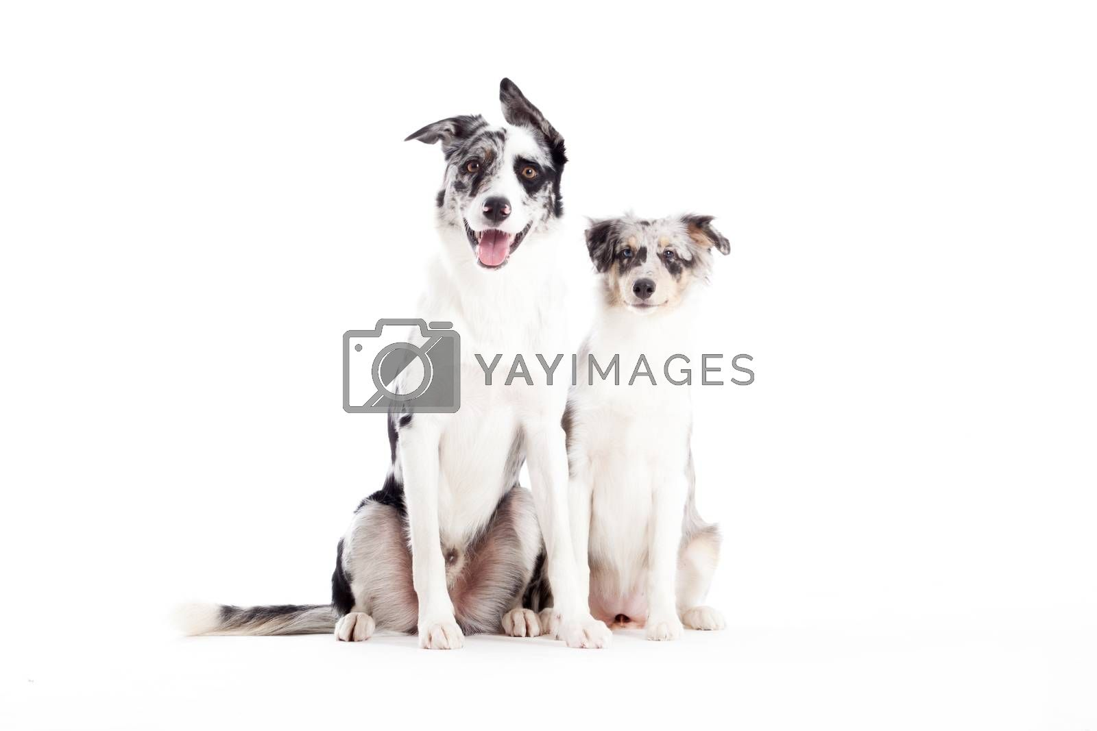 2  blue merle dogs looking by DNFStyle