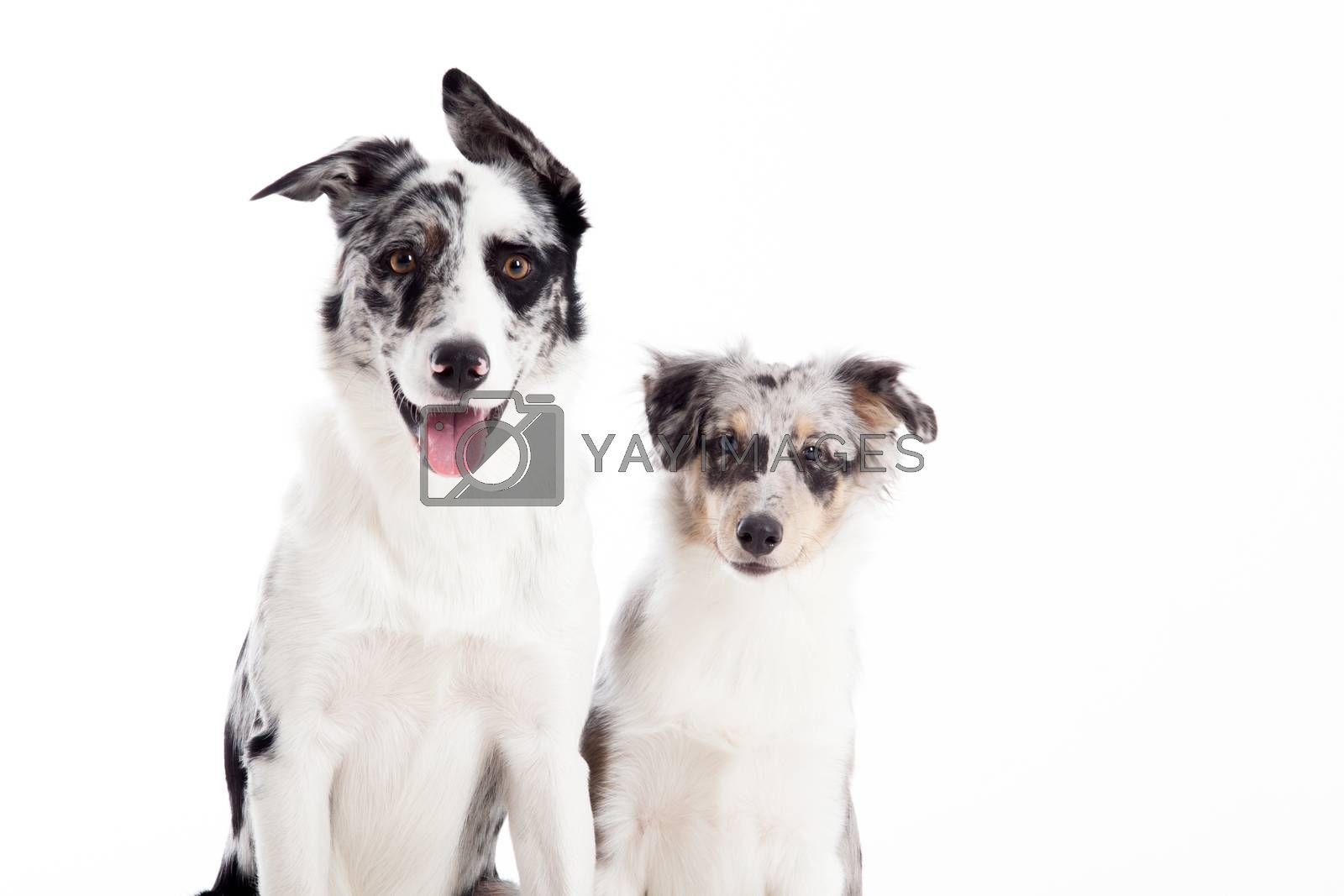 portrait of 2  blue merle dogs by DNFStyle