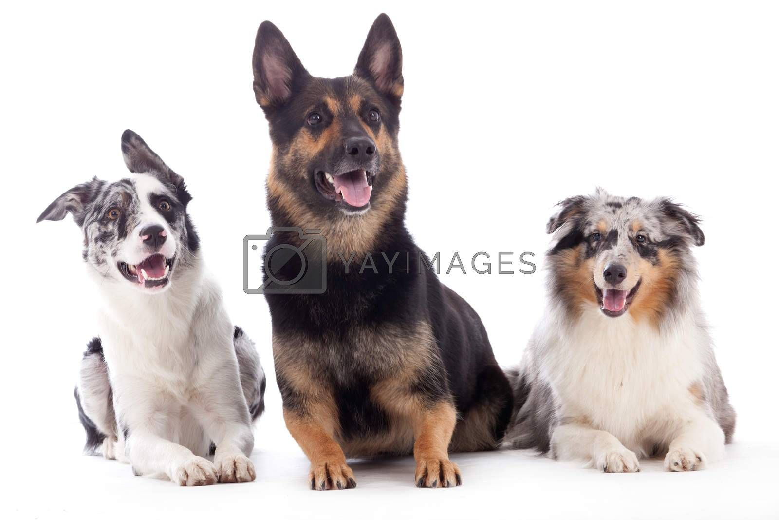 2 dogs  blue merle and sheppard by DNFStyle