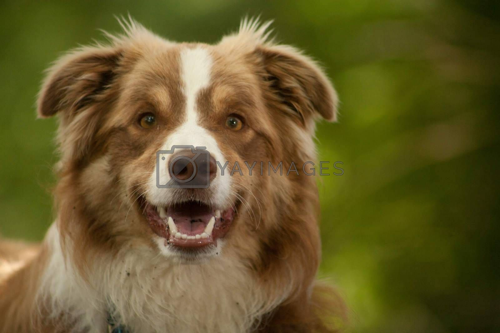 portrait of border collie by DNFStyle