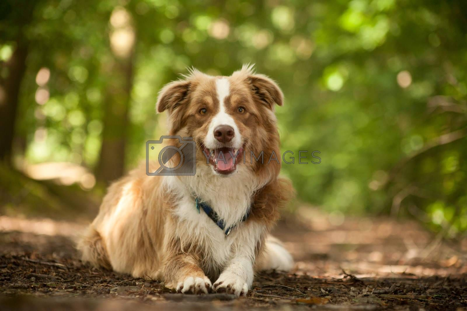 border collie on the ground by DNFStyle