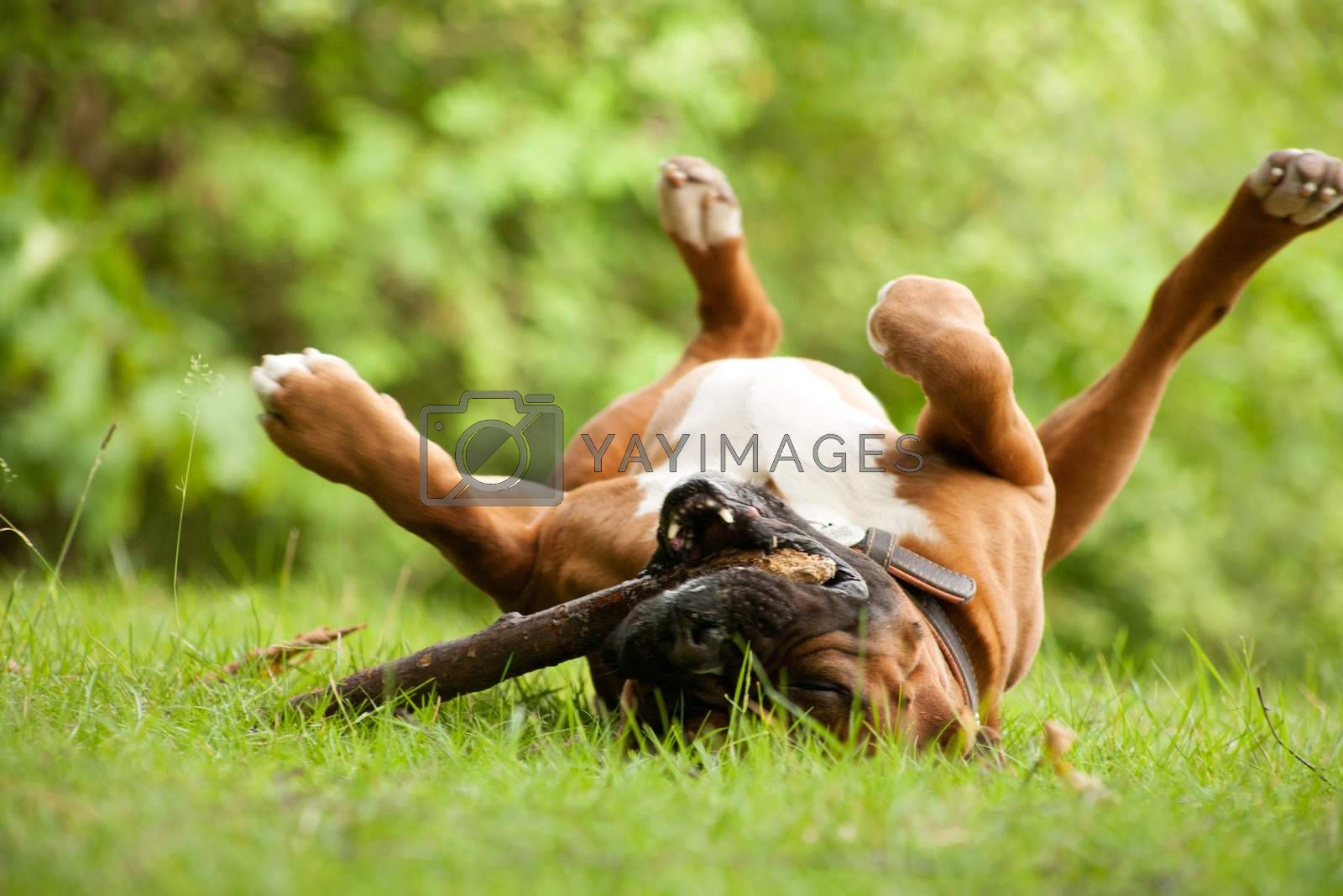 Boxer plays with his stick by DNFStyle