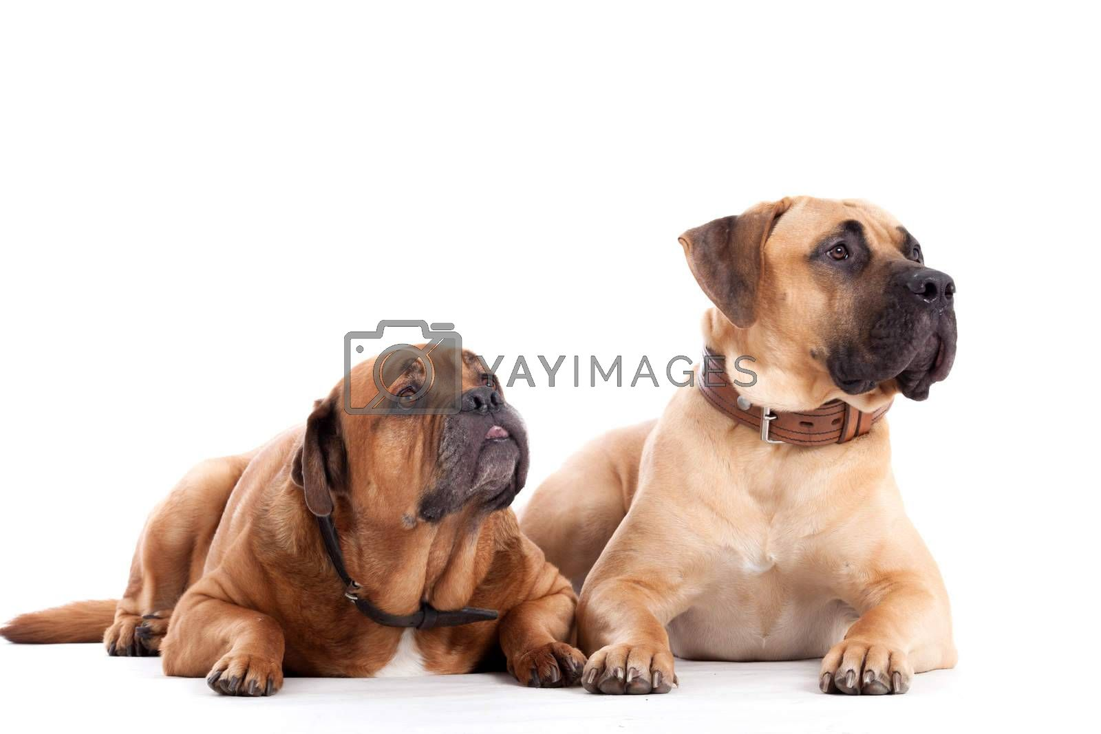 2 Bull mastiff dogs on white by DNFStyle
