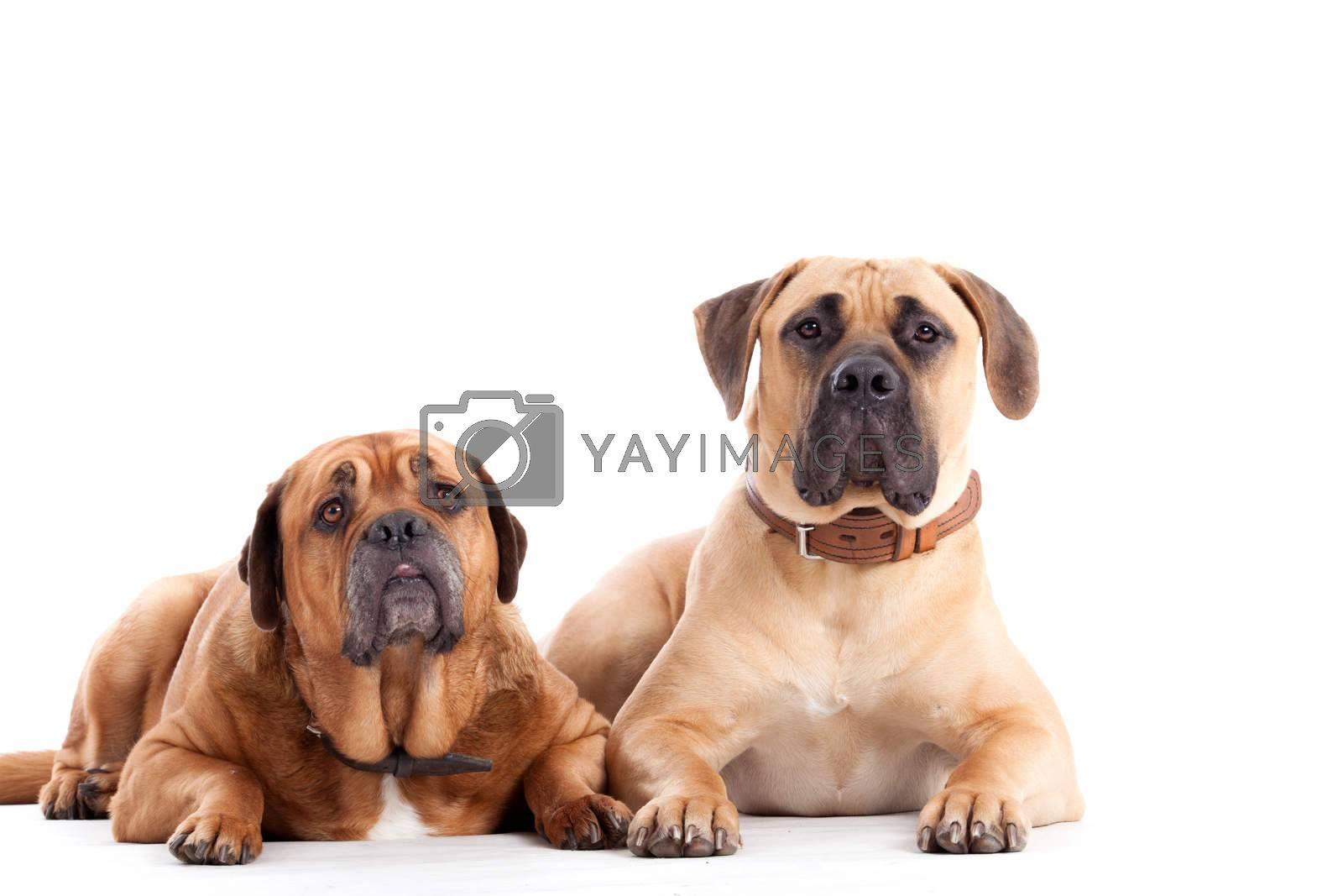 2 Bull mastiff dogs  looking by DNFStyle