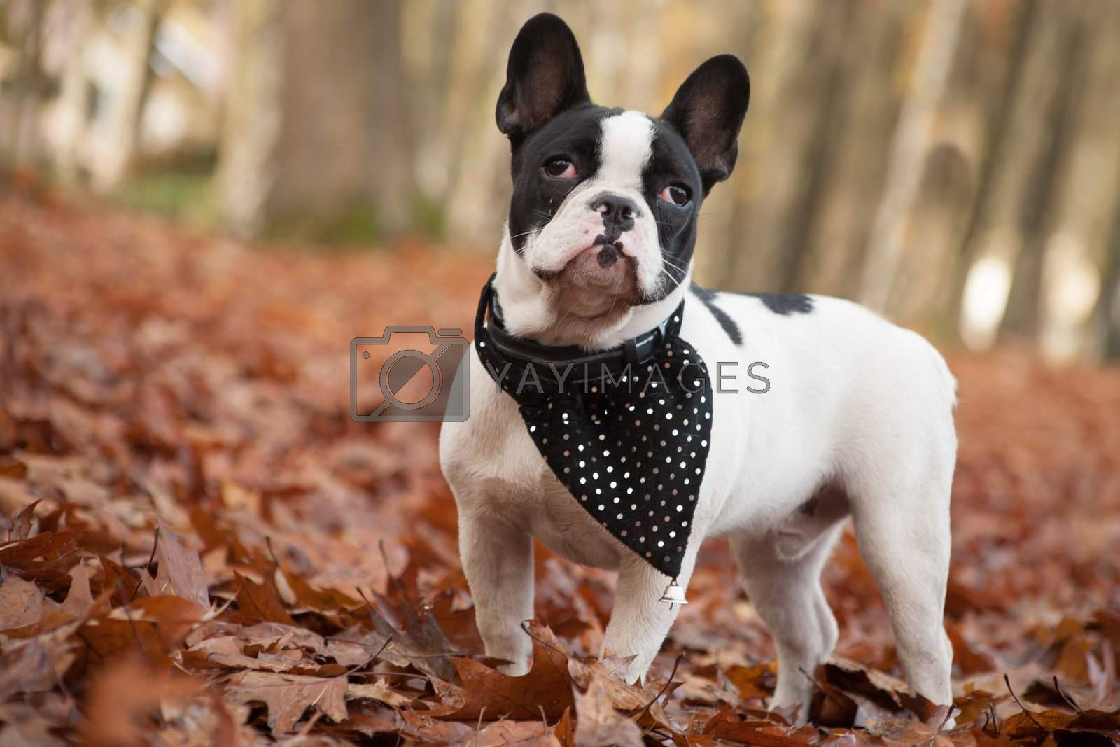 Franse buldog in the forest by DNFStyle