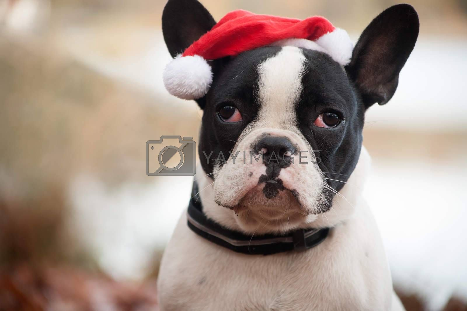 Franse buldog with christmas hat by DNFStyle