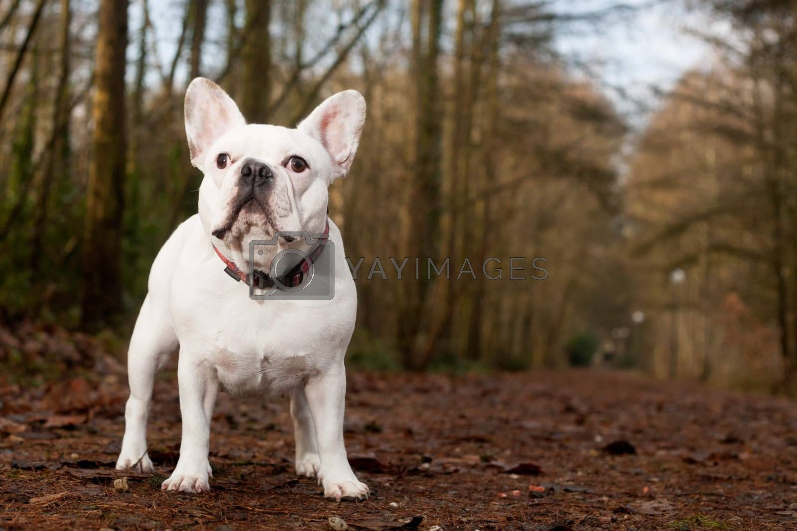 Franse buldog standing in the forest by DNFStyle