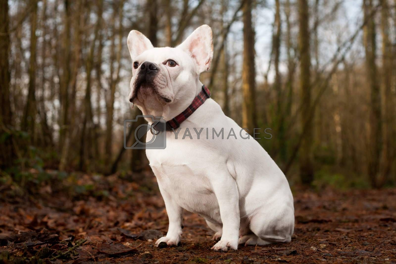 Franse buldog sitting in the forest by DNFStyle