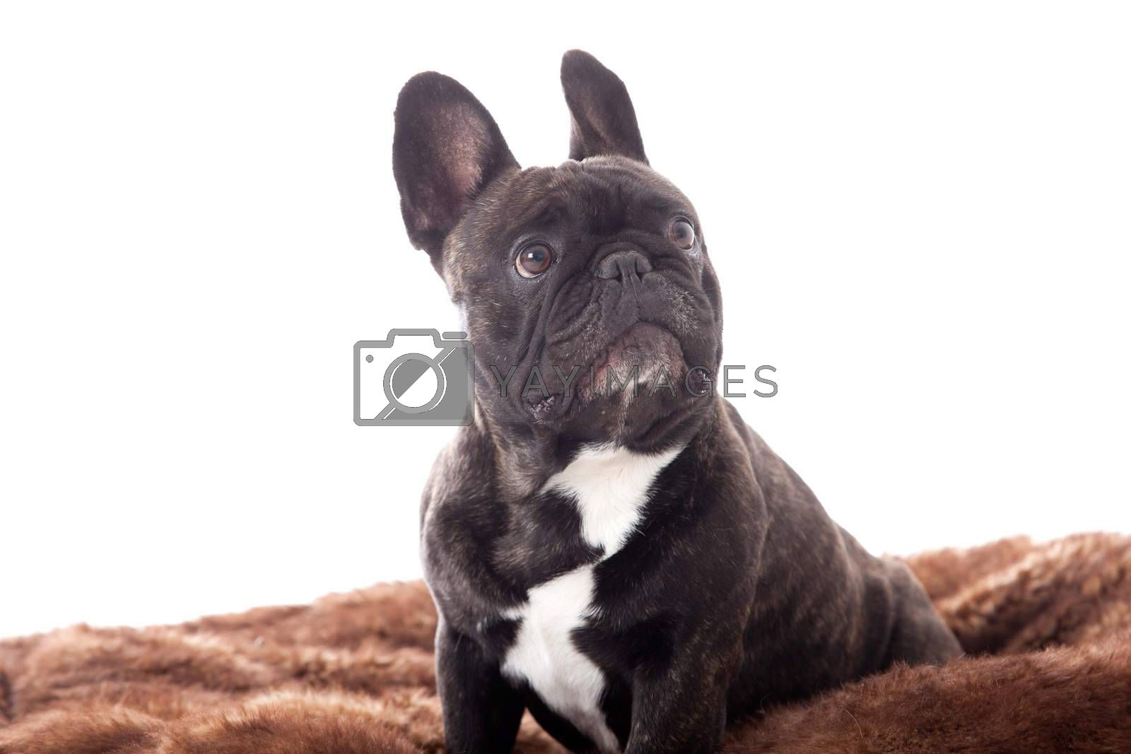 Franse buldog on his plaid by DNFStyle