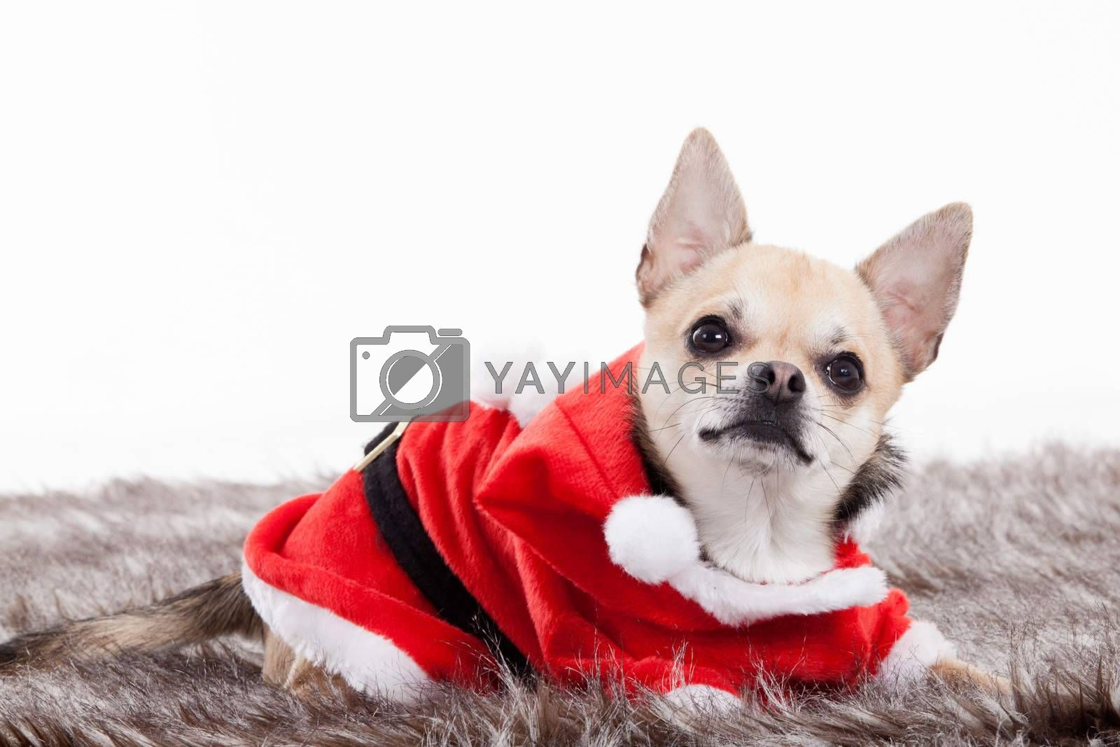chihuahua in christmas outfit by DNFStyle