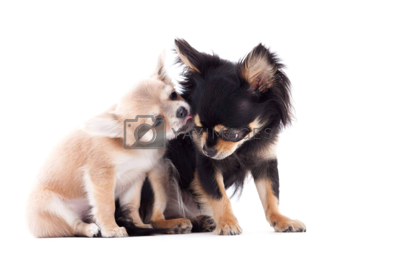 2 chihuahua dogs are caring by DNFStyle