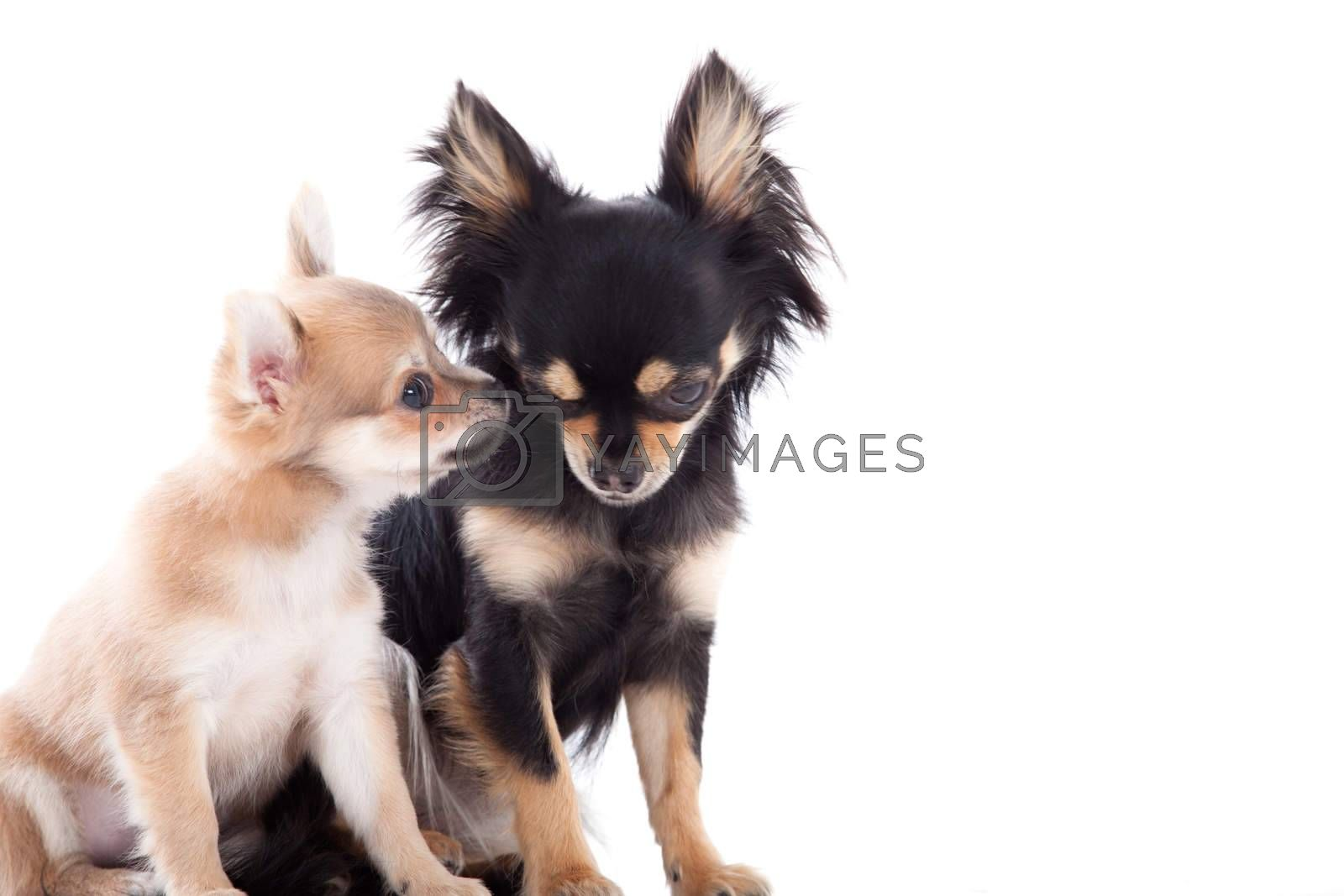 2 chihuahua dogs on white by DNFStyle