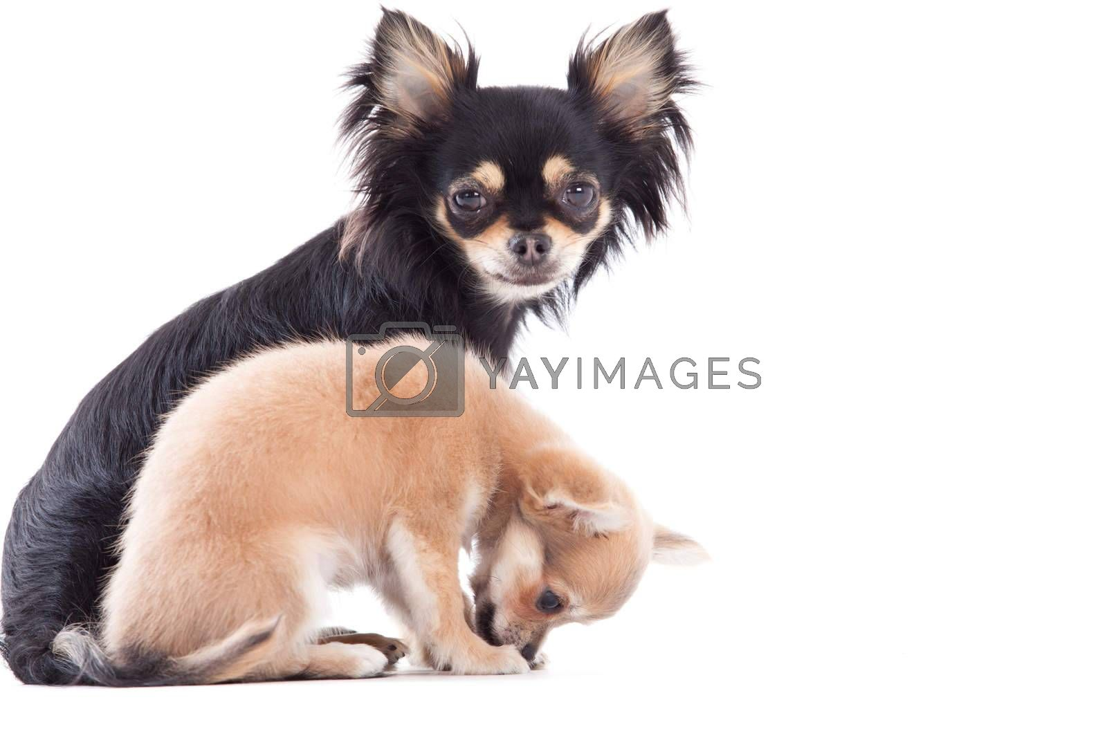 Weet chihuahua dogs by DNFStyle
