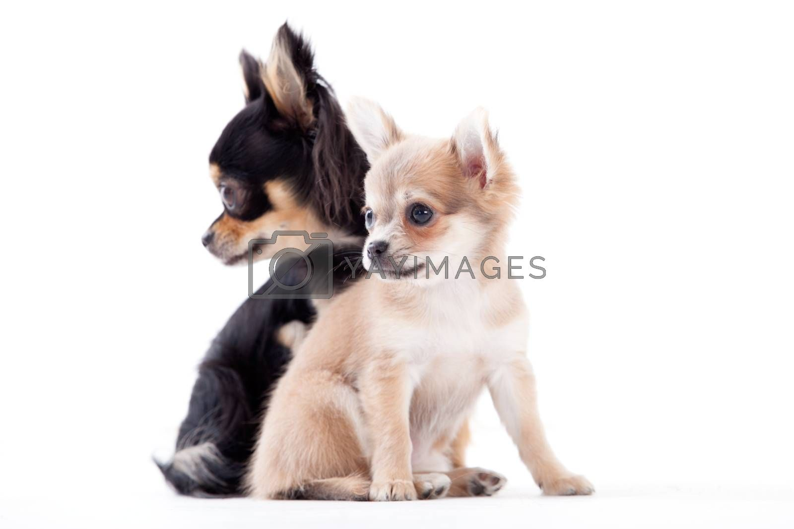 lovely chihuahua dogs by DNFStyle