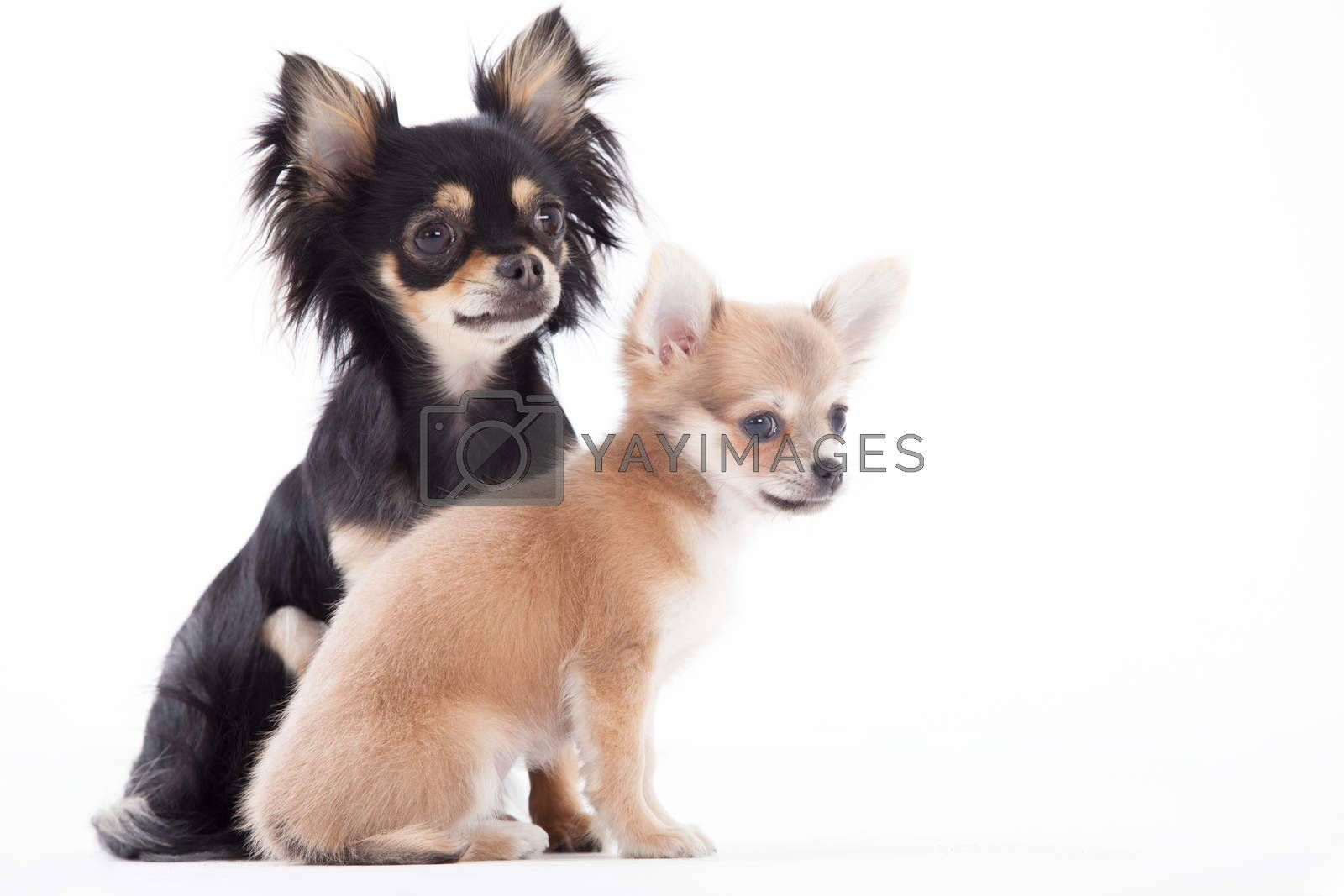 Beautifull chihuahua dogs by DNFStyle