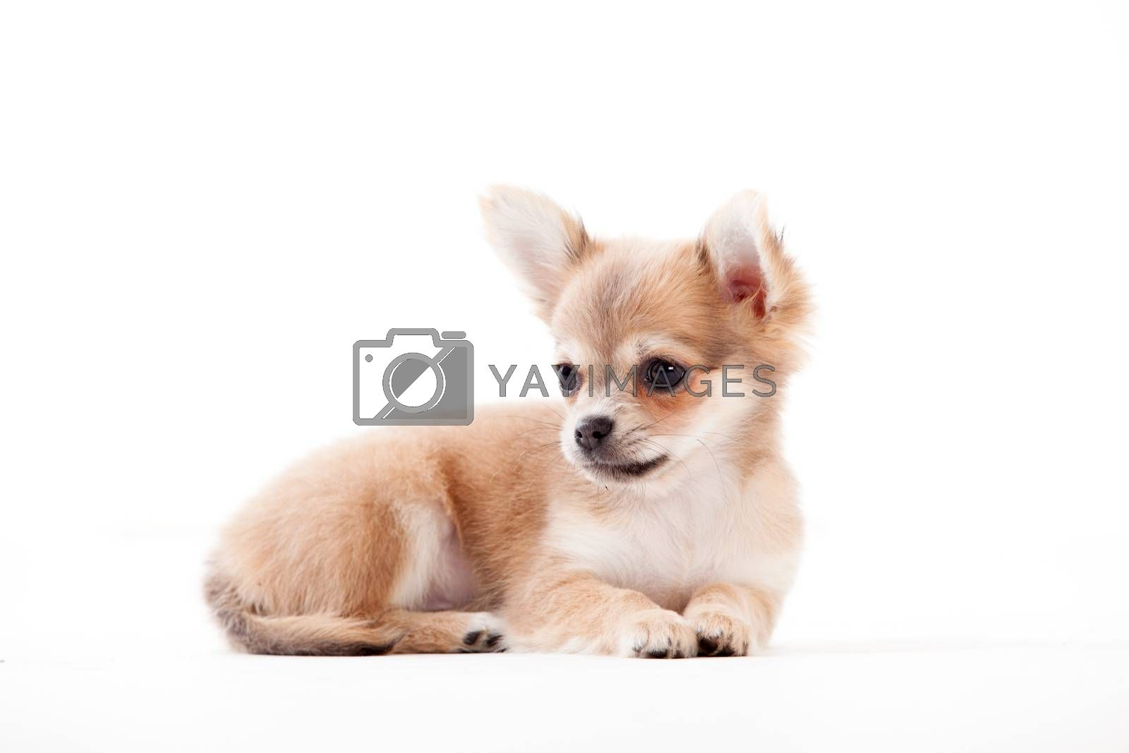 chihuahua on white by DNFStyle