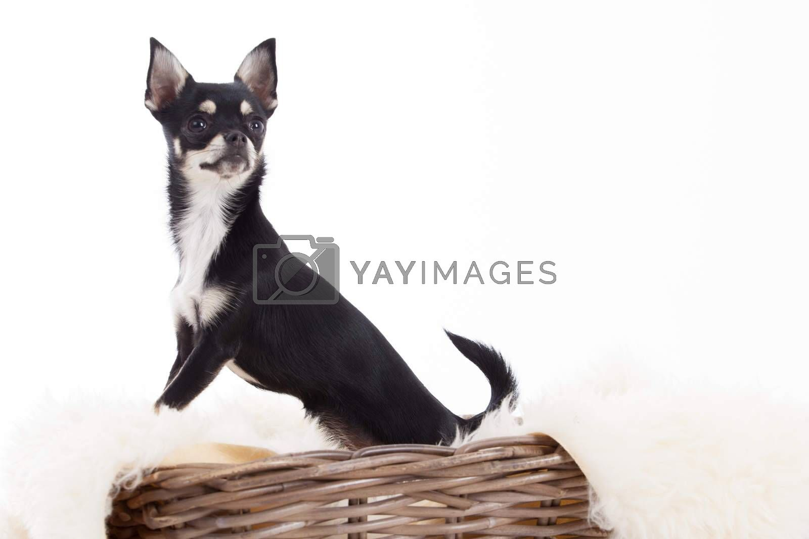 chihuahua in basket by DNFStyle