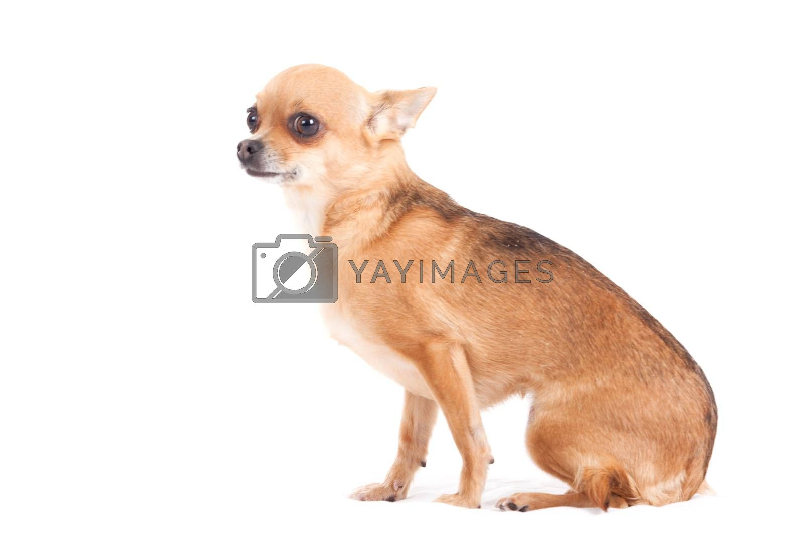 chihuahua on white sitting by DNFStyle