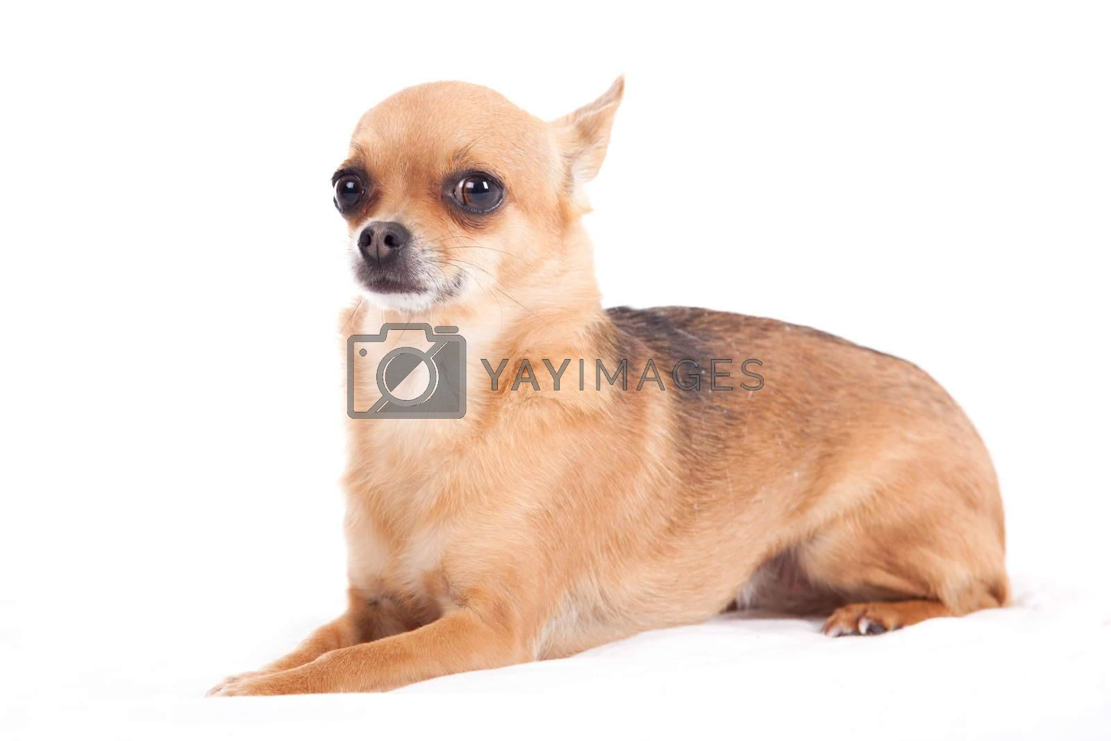 chihuahua laying down by DNFStyle