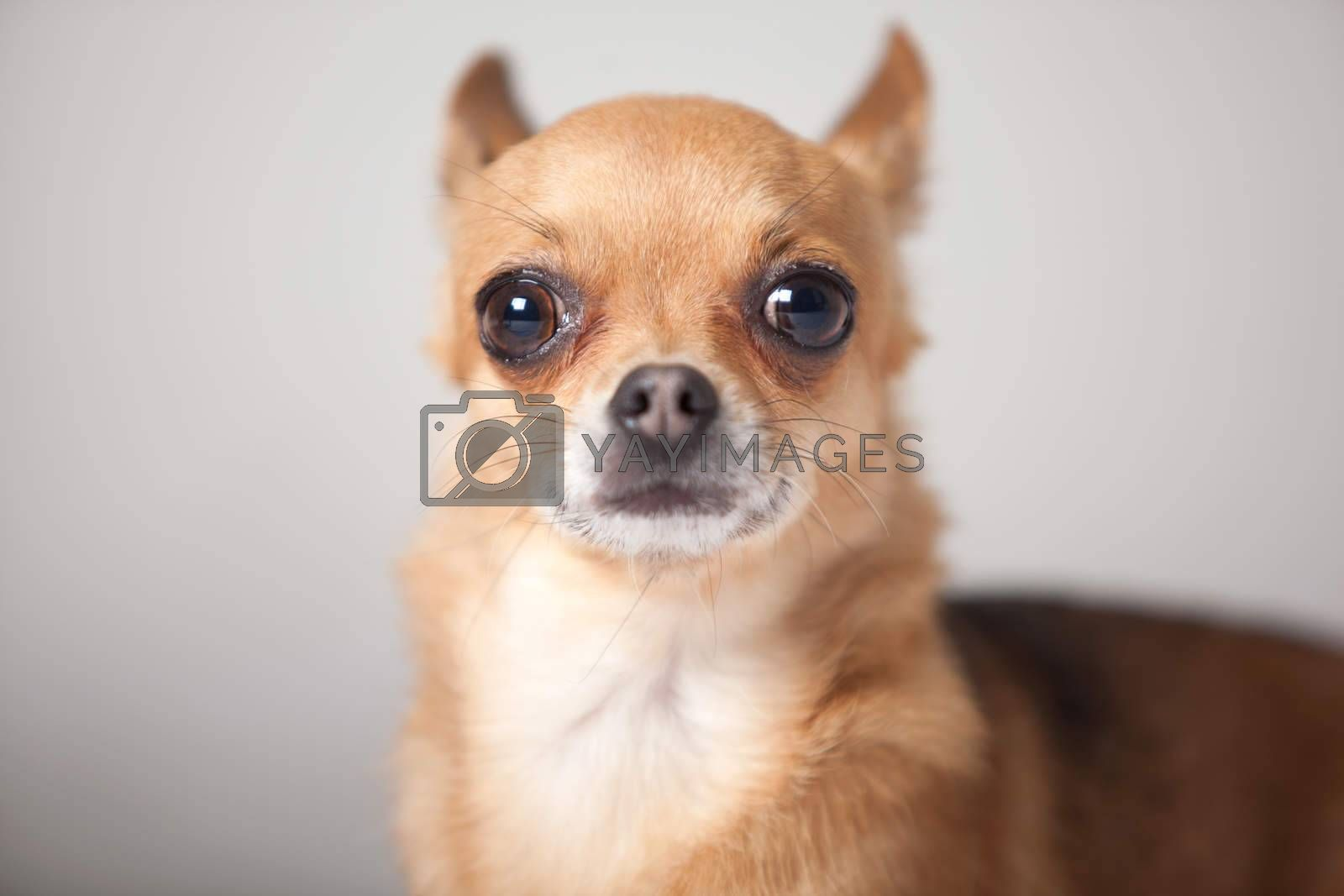 Portrait of a chihuahua by DNFStyle