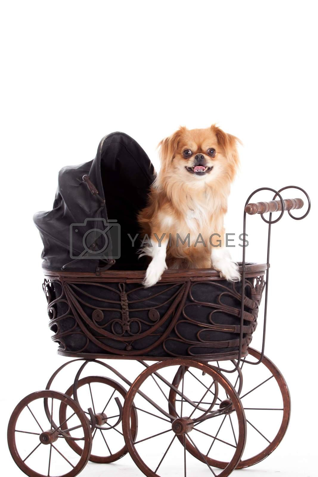 chihuahua in a pram by DNFStyle