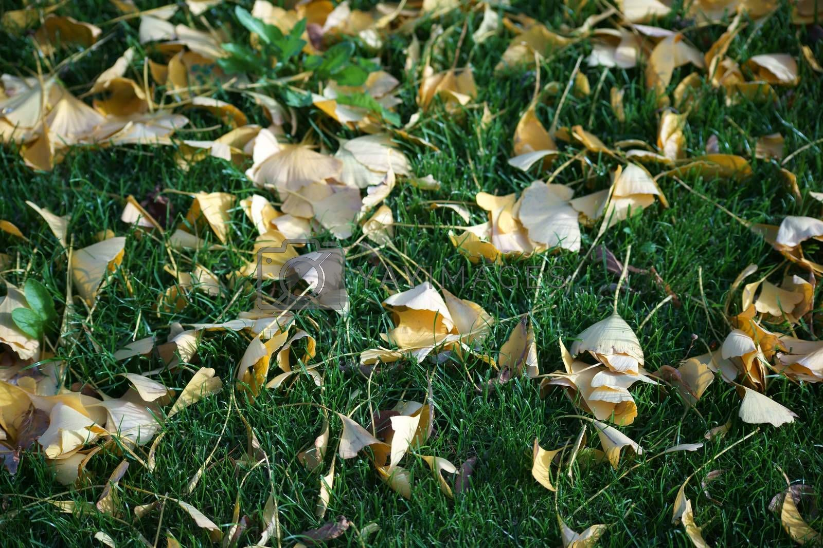 The fallen yellow leaves of the ginkgo tree in the green grass.