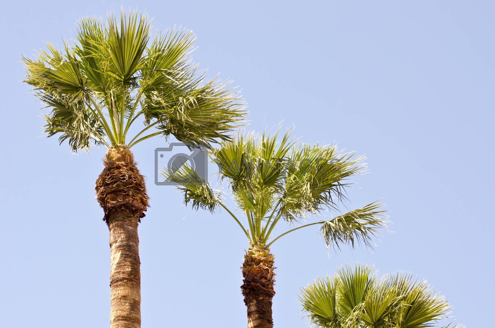 Royalty free image of  palm trees on sunny day by alis_photo