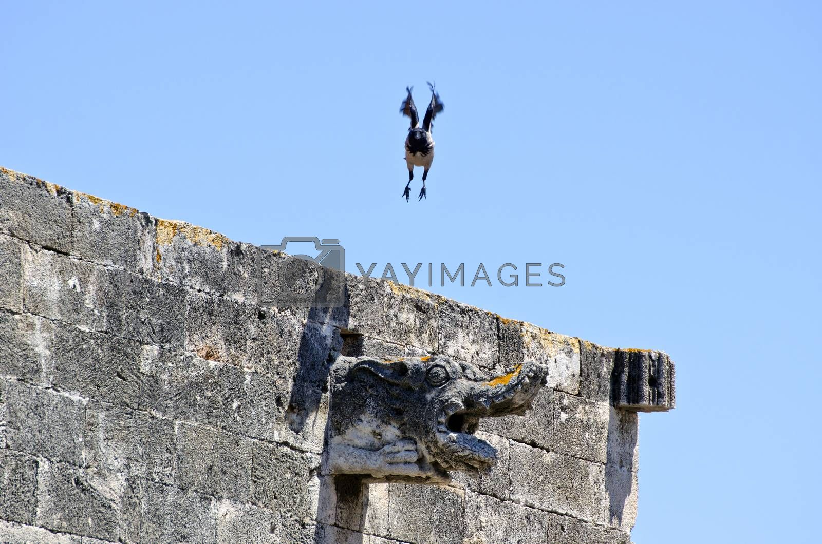Royalty free image of Hooded crow taking flight off ancient building by alis_photo