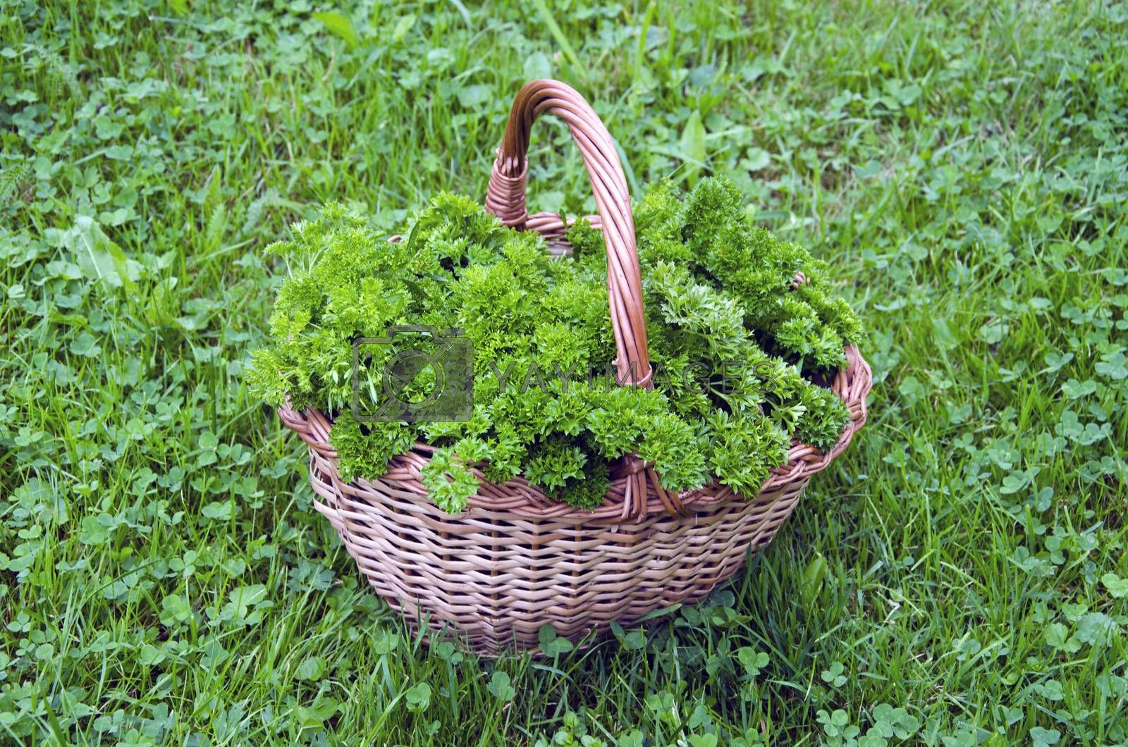 Royalty free image of Fresh parsley in wicker basket on lawn by alis_photo